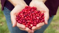 Червена боровинка: Кои са най-големите ползи от приема й?